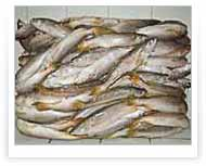 King Weakfish | Packing of 20 KG